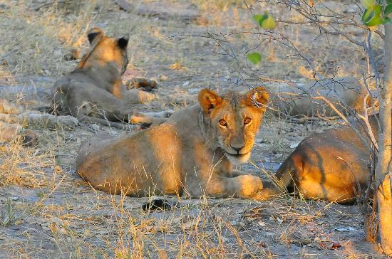 Wilderness Safaris DumaTau Camp : Large pride of lionesses and cubs
