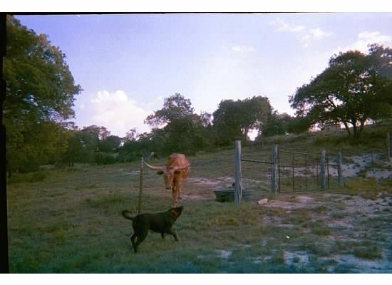 A Barn at the Quarry B&B : Longhorns in the backyard