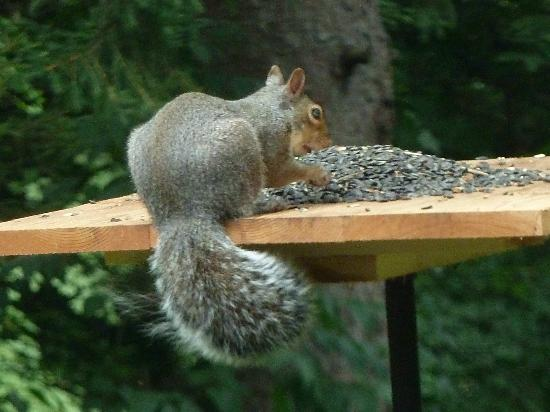 Parkman, OH: Squirrel at the feeder