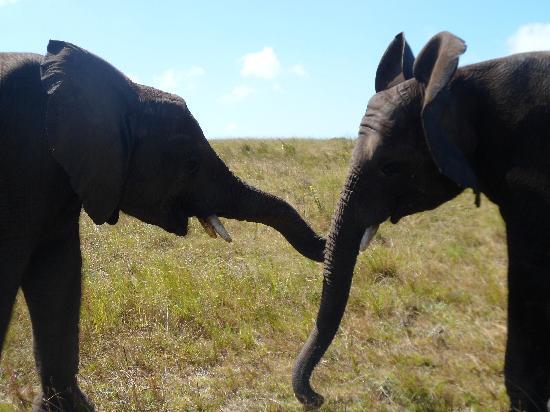 Книсна, Южная Африка: Tug-o-War