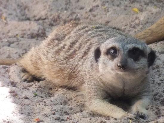 Bioparc Fuengirola : young meerkat