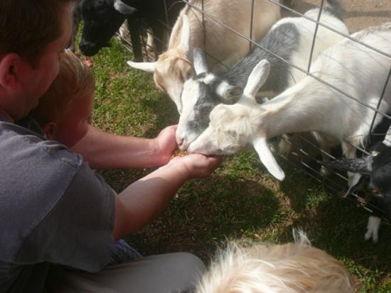 Mulberry Lane Farm: Feeding the goats