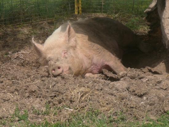Mulberry Lane Farm: Slumbering hog