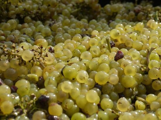 Miles Wine Cellars: 2011 Chardonnay Grapes From Miles Vineyard