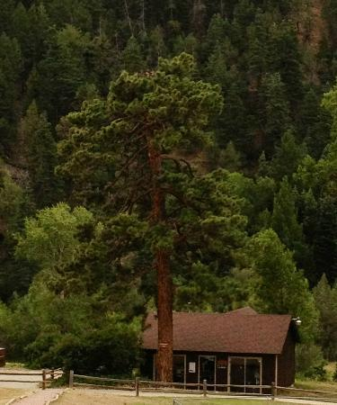 Cruise Inn - Cutty's Hayden Creek Resort: Beautiful Ponderosa Pine