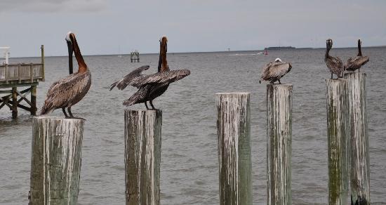 Charleston Water Taxi: Pelicans at Marina