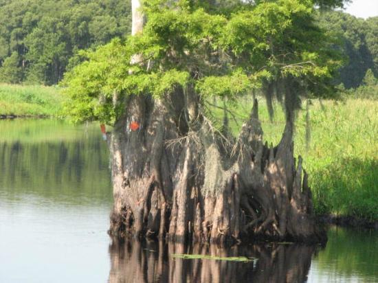 Cypress Lake Airboat Tours: Cypress