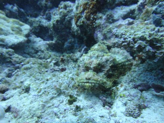 Diamonds Athuruga: grumpy scorpion fish