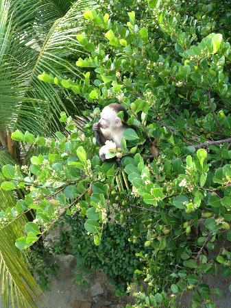 Sunset Beach House: White face monkey
