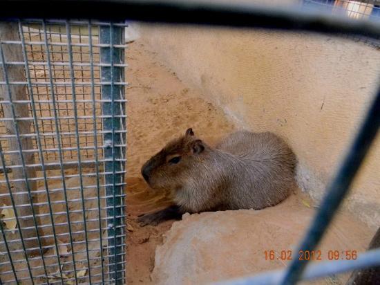 Emirates Park Zoo: Capyabera