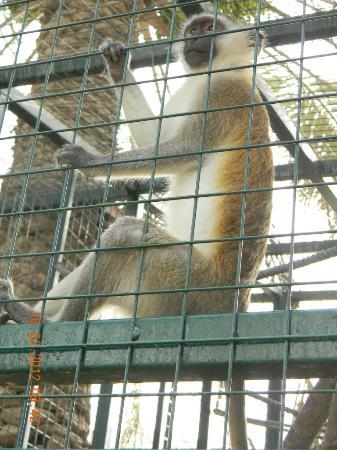 Emirates Park Zoo: Monkey