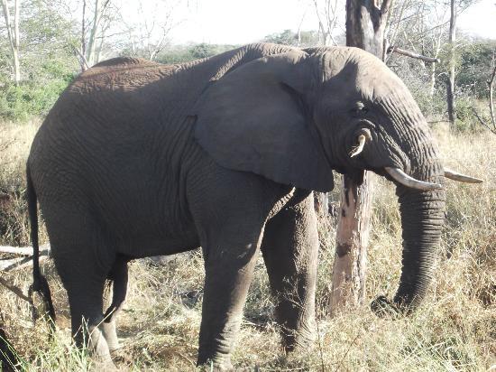 Thanda Safari Lodge: elephant while at thanda