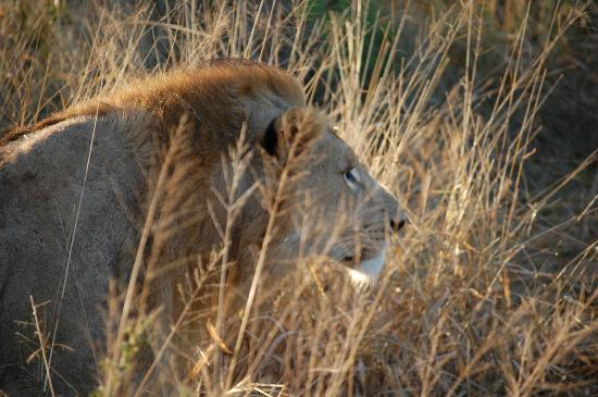 Thanda Safari Lodge: mighty lion in the grass