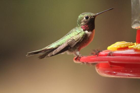 Mount Evans Scenic Byway: Hummingbird at Echo Lake Lodge