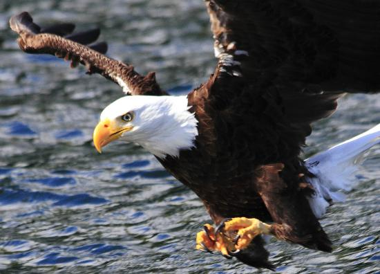 Clayoquot Wilderness Resort: Bald Eagles