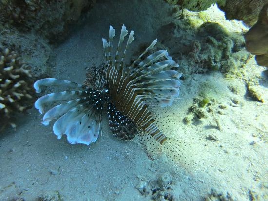 Dive Africa : Lion Fish