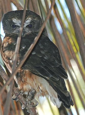 Hanson Bay Wildlife Sanctuary: Boobook Owl near Koala walk