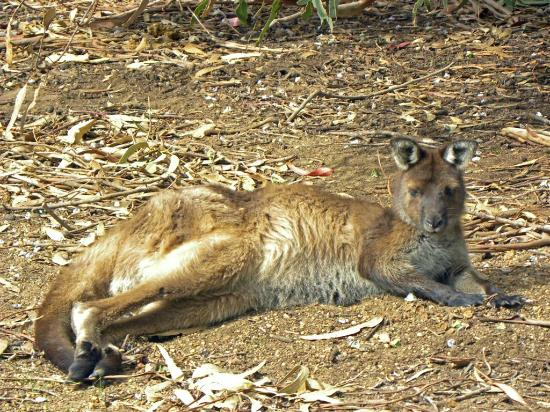 Hanson Bay Wildlife Sanctuary: Resting Kangaroo at koala walk area