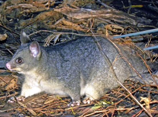 Hanson Bay Wildlife Sanctuary: Brush tailed possum at koala Walk