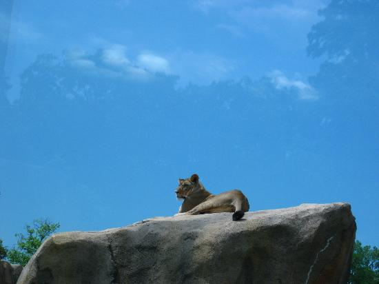 Peoria Zoo: lioness on the rock makes you feel like you could touch her!