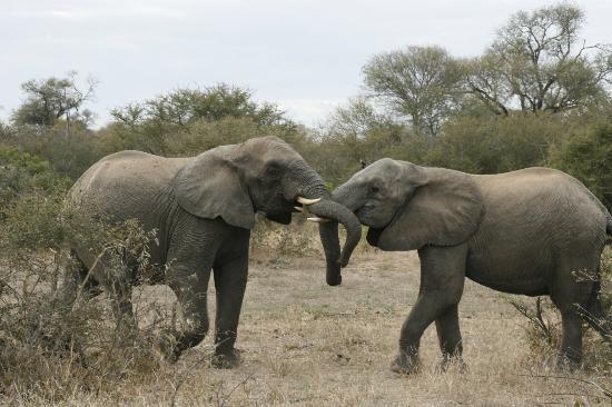 Tanda Tula Safari Camp: Elephants rough housing