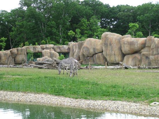 Peoria Zoo: Zebras