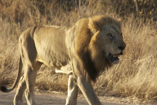 Tanda Tula Safari Camp: Male lion