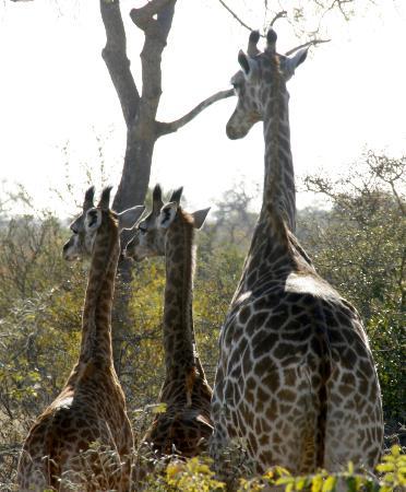 Tanda Tula Safari Camp: Baby giraffes
