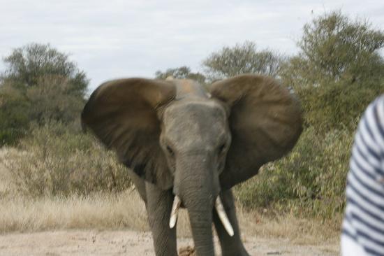 Tanda Tula Safari Camp: Elephant bluff charging