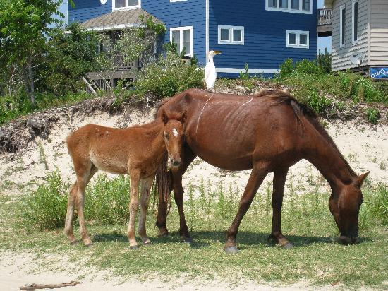 Carova Beach: Horses seen in residential area behind dunes