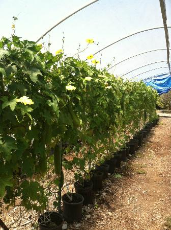 Nipomo, CA: Organic growing practices