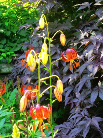 Coveside Bed and Breakfast: Delicate lily in Coveside garden