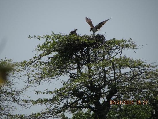 Trustom Pond National Wildlife Refuge: Osprey