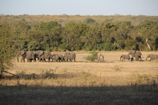 Rhino Post Safari Lodge: Elephants strolling by Plains Camp