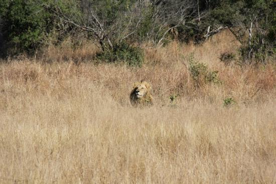 Rhino Post Safari Lodge: Lion subjected to Lady Gaga from idiot car next to us.