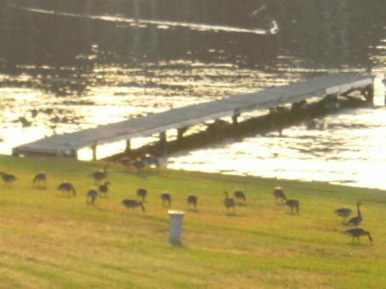 ‪كلاريون ريزورت أون ذا ليك: Boat dock on Lake Hamilton, with flock of Canadian geese grazing the lawn.