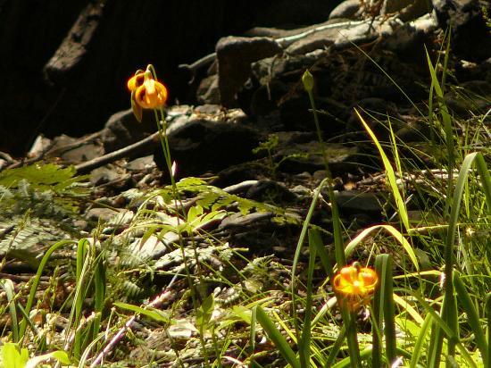 Big Springs Gardens: Sierra Mountain Wildflower