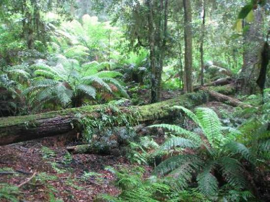 Bluegums Cabins: Treeferns & Antarctic beech trees in Rainforest