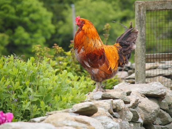Stonehaven Family Farm: The most handsome alarm clock you'll ever have