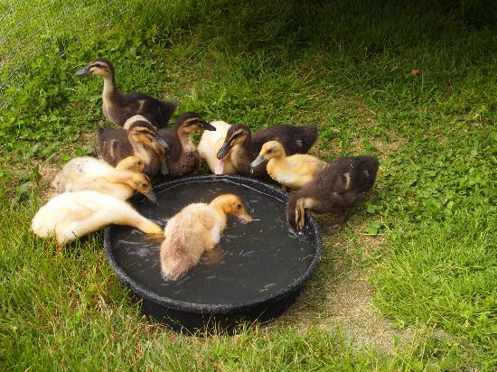 Stonehaven Family Farm: The baby ducks' first swim
