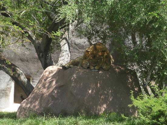 Phoenix Zoo : Lion.