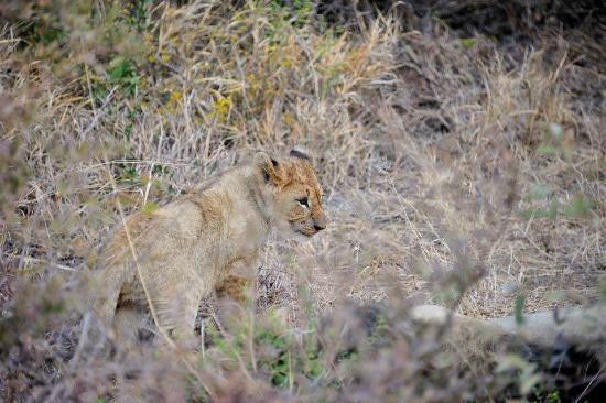 Motswiri Private Safari Lodge: Lion cub
