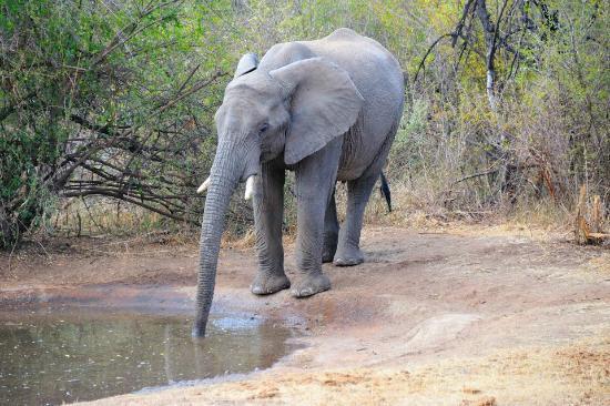 Motswiri Private Safari Lodge: Elephent at water hole close to room no. 3