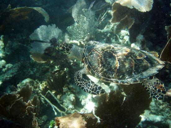 Key Largo, FL: Snorkeling with an endangered Hawksbill sea turtle at Grecian Rocks