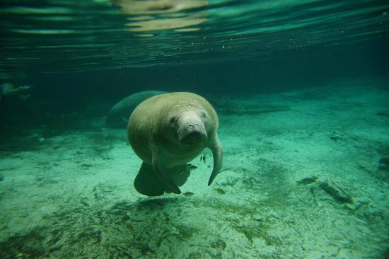 Crystal River, FL: Manatee