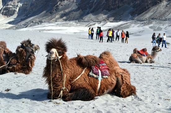 Leh District, India: Bactrian Camel
