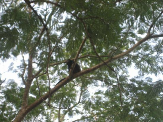 Costa Rica For Everyone: Howler Monkey!