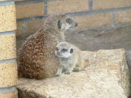 Birmingham Wildlife Conservation Park: Mummy and baby meerkat