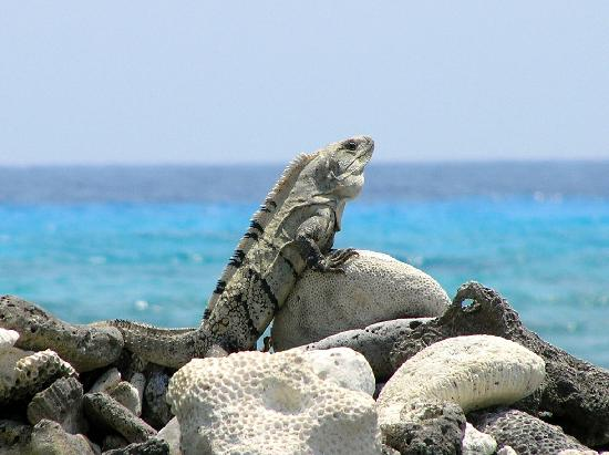 """Off The Wall Dive Center & Resort : """"Stumpy"""" our friendly iguana"""