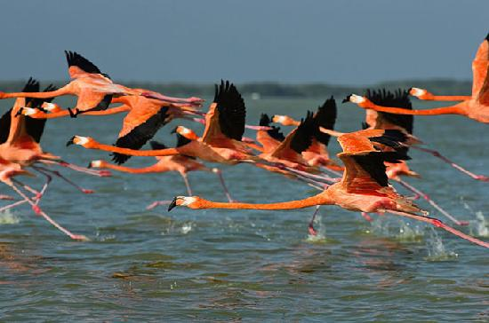Rio Lagartos, Meksyk: Flamingos take off